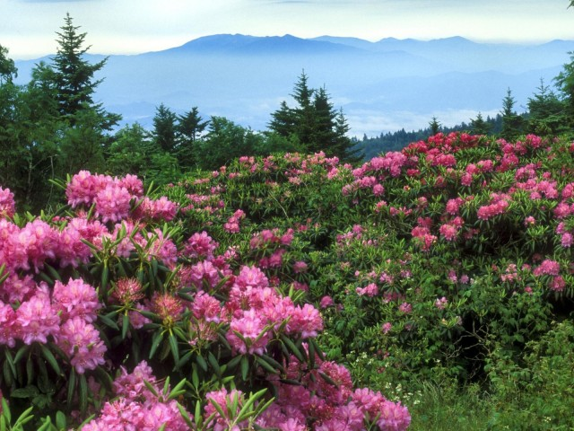 Rhododendrons, Roan Mountain, North Carolina