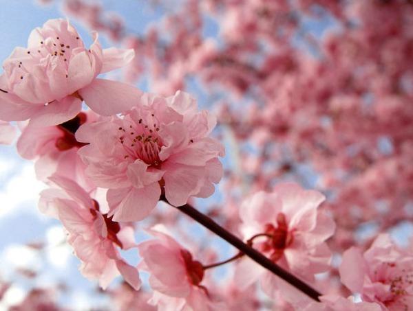 cherry_blossom_