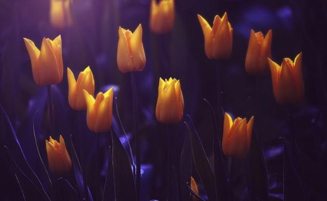 tulips_flowers_buds_night_41742_1920x1180