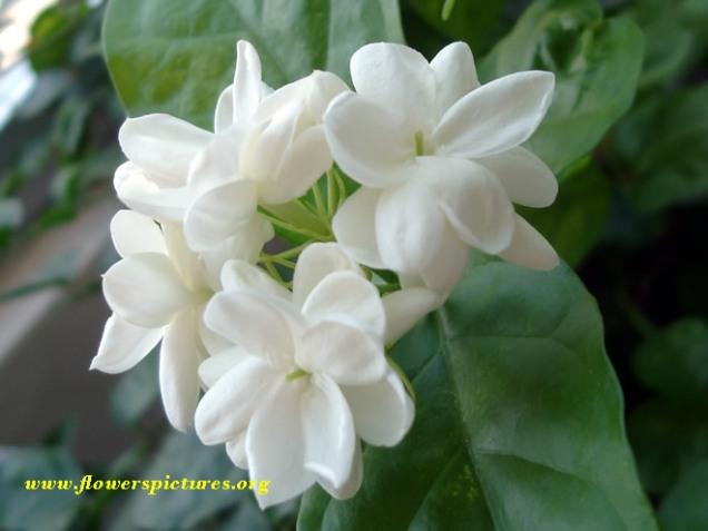 jasmine-1